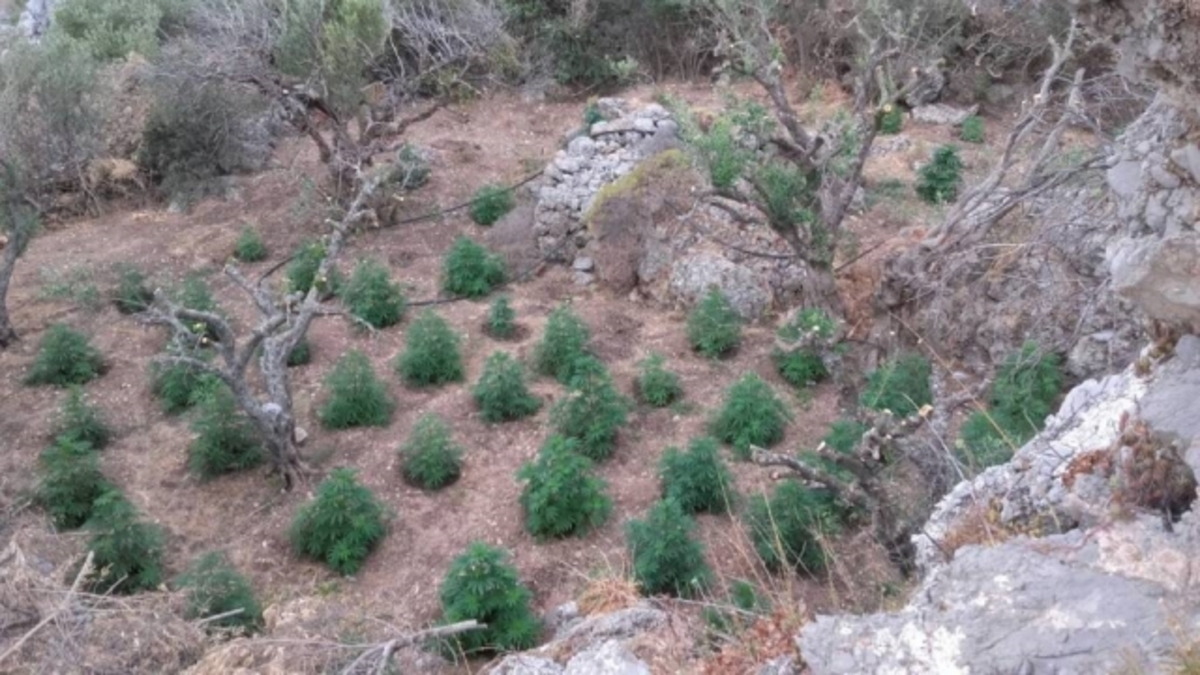 Λασίθι: «Ορφανή» τεράστια χασισοφυτεία στην Ιεράπετρα – Ψάχνουν τους καλλιεργητές [pics]