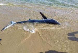 Χανιά: Μπροστά τους στην παραλία ένας από τους πιο επικίνδυνους και επιθετικούς καρχαρίες – Πως βρέθηκε στα ρηχά [pics, vid]
