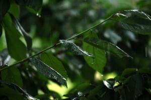 Πέλλα: Η Νεφέλη κατέστρεψε το 70% της παραγωγής κερασιών – Σε απόγνωση οι παραγωγοί!