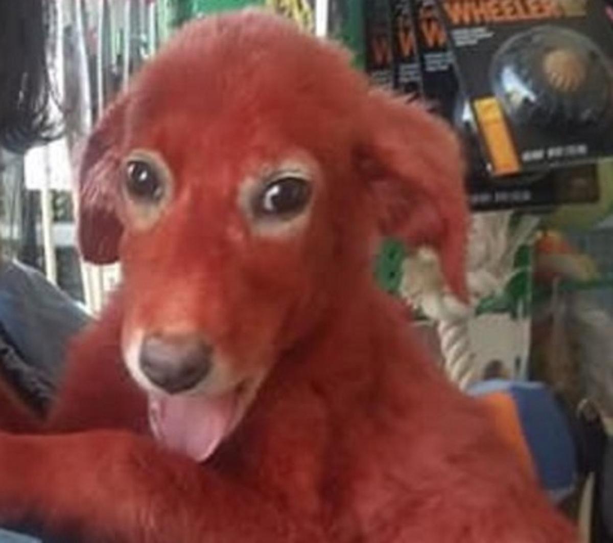 Βοιωτία: Έτσι είναι σήμερα το κουτάβι που έβαψαν με κόκκινη βαφή μαλλιών – Η μεγάλη αγκαλιά αγάπης [pics, video]