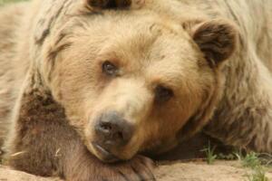 Από γεράματα ο θάνατος της αρκούδας στην Καστοριά