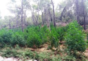 Βοιωτία: Το δάσος έκρυβε χασισόδεντρα – Το ελικόπτερο οδήγησε τους αστυνομικούς σε αυτό το σημείο [pics]