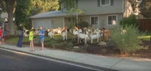 Κατσίκες το 'σκασαν και βολτάρουν στους δρόμους! – video