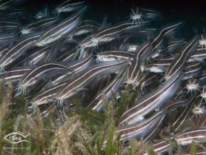 Αυτά είναι τα επικίνδυνα ψάρια των ελληνικών θαλασσών που δεν πρέπει ποτέ να φάτε!