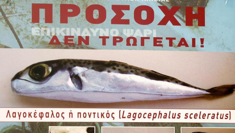 Προσοχή στον λαγοκέφαλο: Τοξικό και επικίνδυνο ψάρι – Τι πρέπει να γνωρίζετε