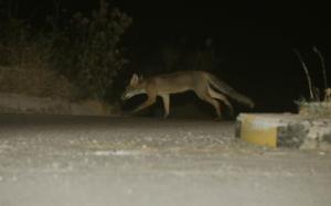 Θράκη: Ξεκινούν οι ρίψεις εμβολιακών δολωμάτων για τη λύσσα των κόκκινων αλεπούδων – Τι πρέπει να ξέρουν οι πολίτες!