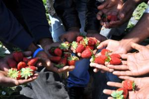 Φράουλες «φόνισσες» σοκάρουν την Αυστραλία! Βελόνες και καρφίτσες στα φρούτα