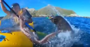 Επικό! Φώκια χαστουκίζει καγιακίστα με χταπόδι – Το βίντεο που σαρώνει