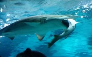 Τρομερό! Ανακαλύφθηκε ο πρώτος «χορτοφάγος» καρχαρίας