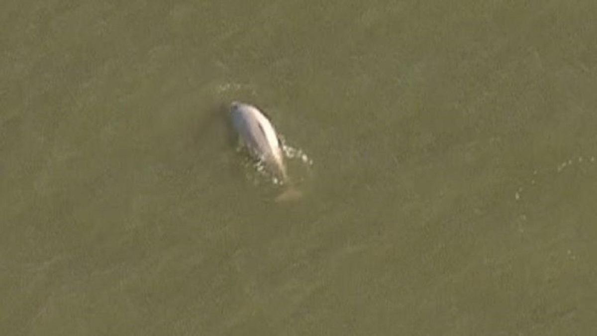 Φάλαινα κόβει… βόλτες στον Τάμεση – βίντεο