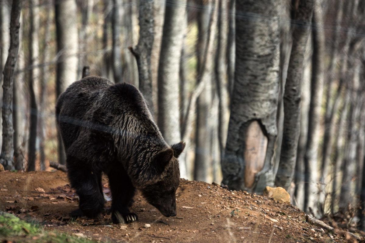 Τρίκαλα: Αρκούδα «επισκέφτηκε» μαντρί – Το έβαλε στα πόδια έντρομος ο βοσκός