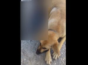 Χανιά: Πυροβόλησαν και σκότωσαν έγκυο σκυλίτσα και τα αγέννητα κουταβάκια της!
