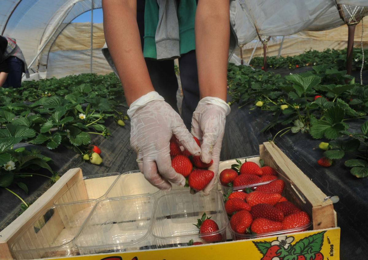 Φονικές φράουλες στην Αυστραλία – Το DNA πρόδωσε την 50χρονη «τιμωρό»
