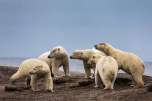 SOS για τις πολικές αρκούδες – Η κλιματική αλλαγή απειλεί να αφανίσει την… τροφή τους