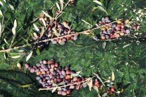 """Ναυπακτία: Αγρότες σε απόγνωση – """"Η χειρότερη χρονιά στην παραγωγή ελαιολάδου λόγω του δάκου"""" – video"""
