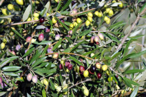 Αλεξανδρούπολη: 35% κάτω η παραγωγή ελαιολάδου – Δάκος και «Ζορμπάς» χτύπησαν τους αγρότες!