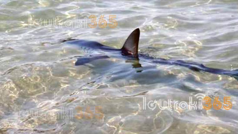 """Καρχαρίας δυο μέτρων """"κόβει"""" βόλτες στο λιμάνι του Λουτρακίου! video"""