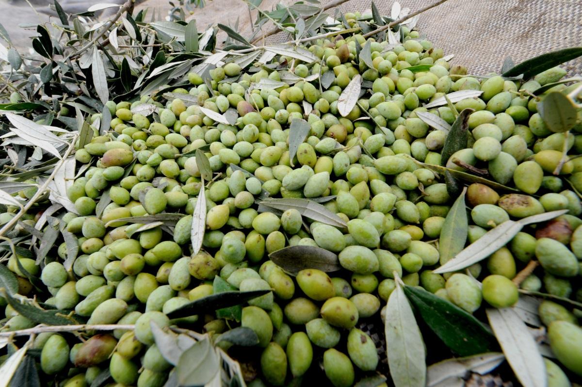 Αργολίδα: Μάζευε ελιές και δύσκολα θα ξεχάσει τα όσα έζησε! Στο σημείο περιπολικά και αστυνομικοί