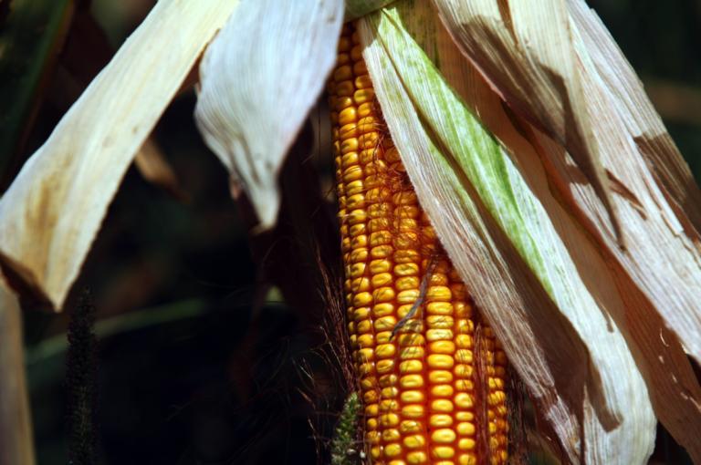 Επιστήμονες ξαναγράφουν την ιστορία του καλαμποκιού