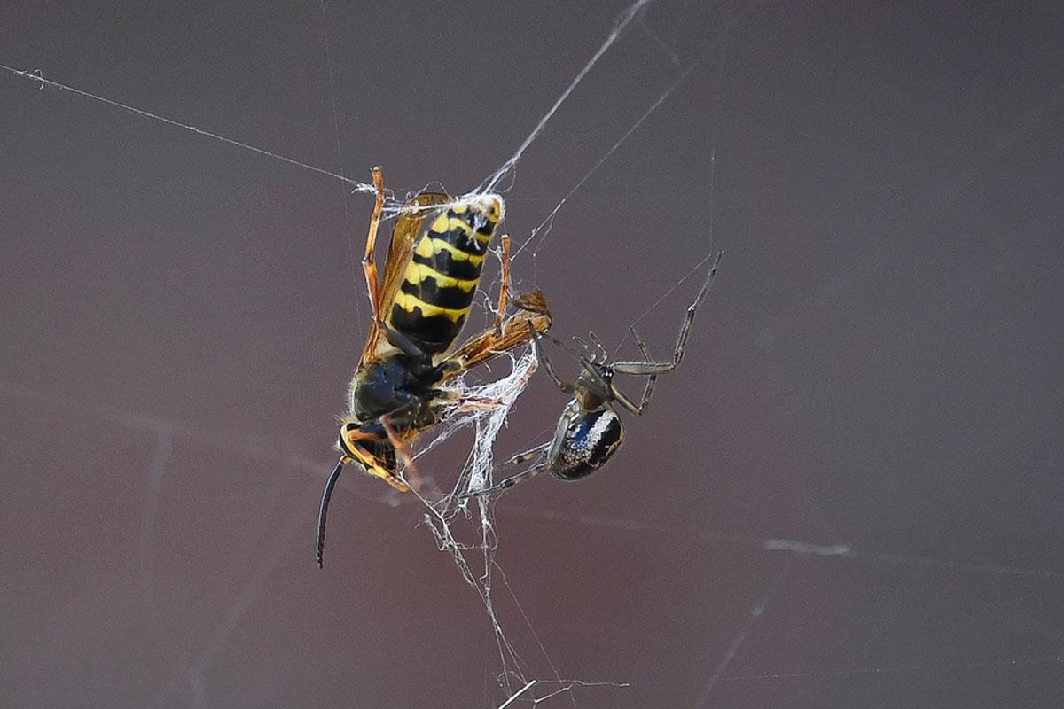 Το θρίλερ της φύσης: Eίδος σφήκας μετατρέπει αράχνες σε ζόμπι!