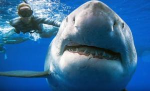 Γυναίκα κολυμπάει δίπλα σε καρχαρία 6 μέτρων! Απίστευτο video