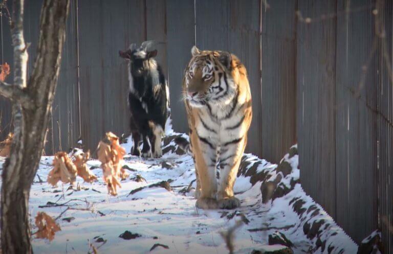 Ο τίγρης Αμούρ… μετακομίζει κι αφήνει πίσω τον τράγο Τιμούρ! video | Newsit.gr