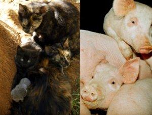 Το κυνήγι της γάτας, η εξορία του γουρουνιού