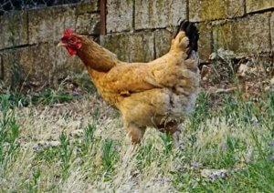 Ναύπλιο: Τα αυγά της κότας του ήταν παράξενα – Η σύγκριση που είναι αποκαλυπτική – video