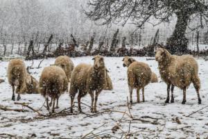 Λαμία: Άγρια σκυλιά κατασπάραξαν πρόβατα – Ο βοσκός ανήμπορος να αντιδράσει!