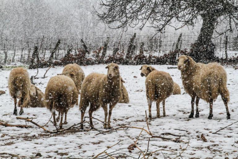 Λαμία: Άγρια σκυλιά κατασπάραξαν πρόβατα – Ο βοσκός ανήμπορος να αντιδράσει! | Newsit.gr