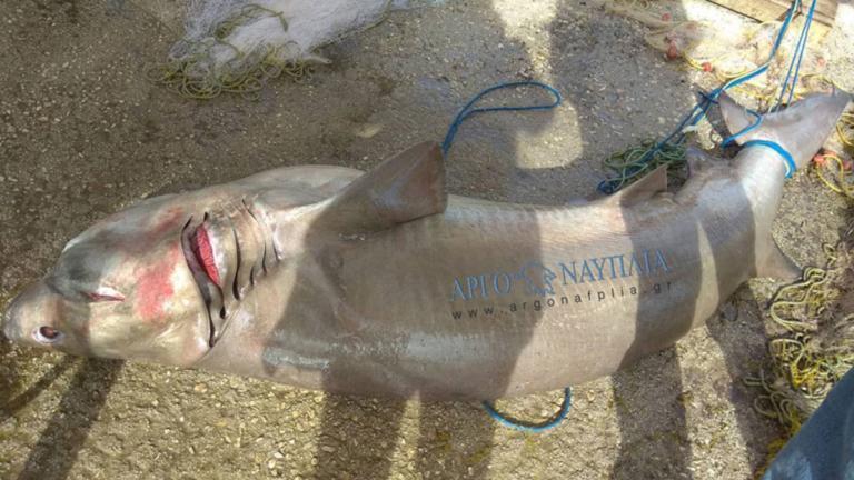Αργολίδα: Έρευνα του λιμενικού για τον καρχαρία που μπλέχτηκε στα δίχτυα ψαράδων! | Newsit.gr
