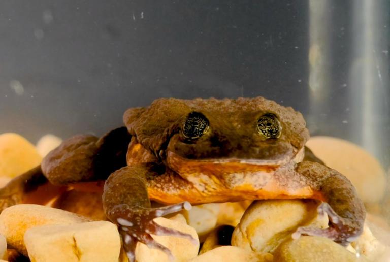 Ο πιο μοναχικός βάτραχος στον κόσμο βρήκε το ταίρι του – video | Newsit.gr