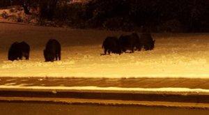 Θεσσαλονίκη: Αγριογούρουνα βγήκαν βόλτα στα… χιόνια – video