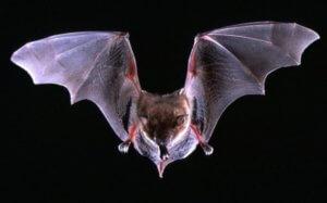 Νυχτερίδες: Ανακαλύφθηκαν νέα πολύ σπάνια είδη! – video