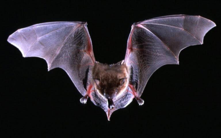 Νυχτερίδες: Ανακαλύφθηκαν νέα πολύ σπάνια είδη! – video | Newsit.gr