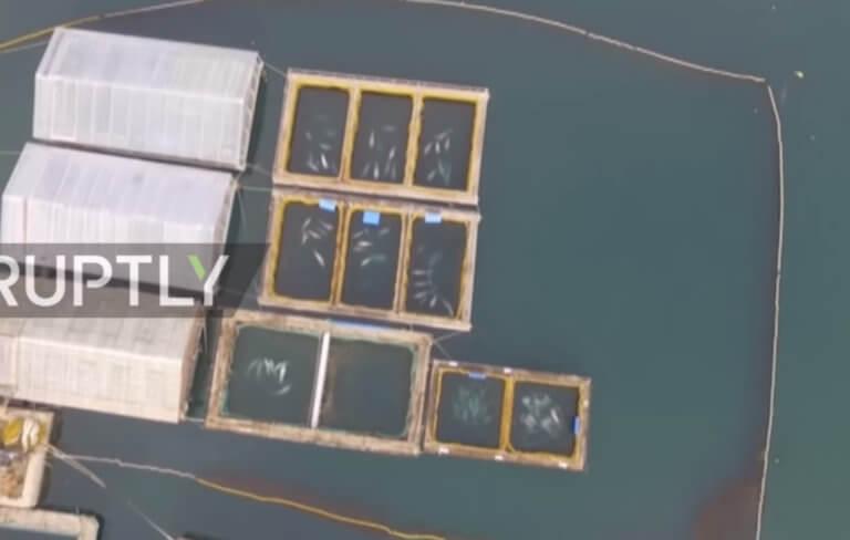 Πεσκόφ: Ελπίζουμε να βρεθεί λύση για τις φυλακισμένες φάλαινες – video
