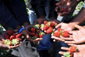Μανωλάδα: Εισαγγελική έρευνα για τους ανασφάλιστους αλλοδαπούς στα φραουλοχώραφα
