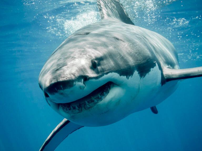 Όπλο στην φαρέτρα μας κατά του καρκίνου το DNA του μεγάλου λευκού καρχαρία | Newsit.gr