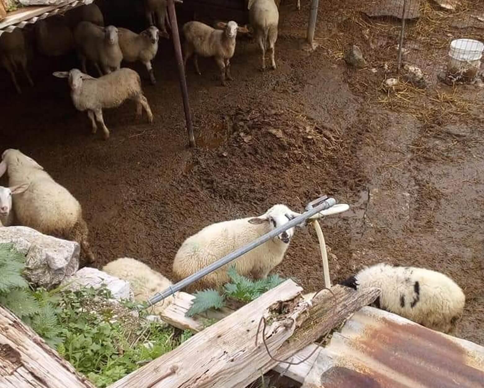 Φυλάκιση 6 μηνών σε κτηνοτρόφο για τις άθλιες συνθήκες στη στάνη του [pics]