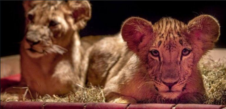 Οδύσσεια για δύο λιονταράκια – Από πού ξεκίνησαν και πού θα πάνε