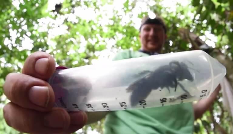 Ανακαλύφθηκε γιγαντιαία μέλισσα και είναι… ζωντανή! Έχει το μέγεθος ενός αντίχειρα! – video