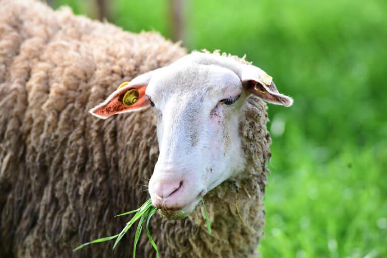 Γρεβενά: Βγαίνουν σε πλειστηριασμό 200 πρόβατα – Η τιμή εκκίνησης και τα χρέη του ιδιοκτήτη τους! | Newsit.gr