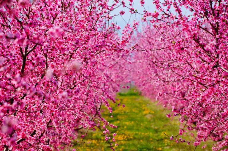 Οι ανθισμένες ροδακινιές της Βέροιας – Εικόνες απαράμιλλης ομορφιάς [pics] | Newsit.gr