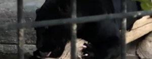 Αριζόνα: Τζάγκουαρ επιτέθηκε και τραυμάτισε απερίσκεπτη επισκέπτρια που πήγε να βγάλει selfie μαζί του! – Video
