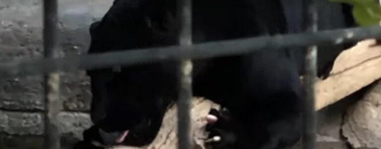 Αριζόνα: Τζάγκουαρ επιτέθηκε και τραυμάτισε απερίσκεπτη επισκέπτρια που πήγε να βγάλει selfie μαζί του! – Video | Newsit.gr
