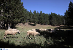 Αγωνία για 93χρονο κτηνοτρόφο στην Ηλεία – Αγνοείται από χθες