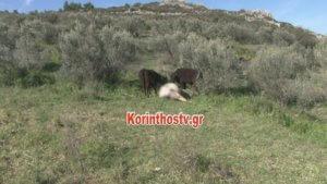Αυτός είναι ο ταύρος που σκότωσε άνθρωπο στην Αρχαία Κόρινθο – video