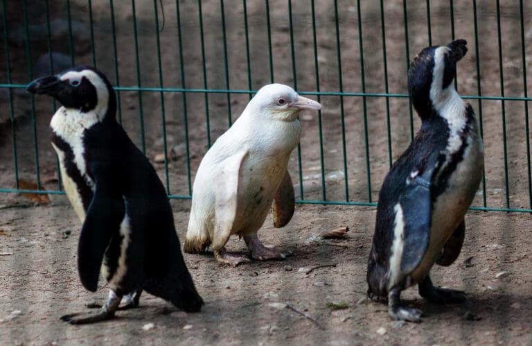 """""""Λιώστε""""! Ένας αλμπίνος πιγκουίνος κάνει άνω – κάτω τον ζωολογικό κήπο! video, pics"""