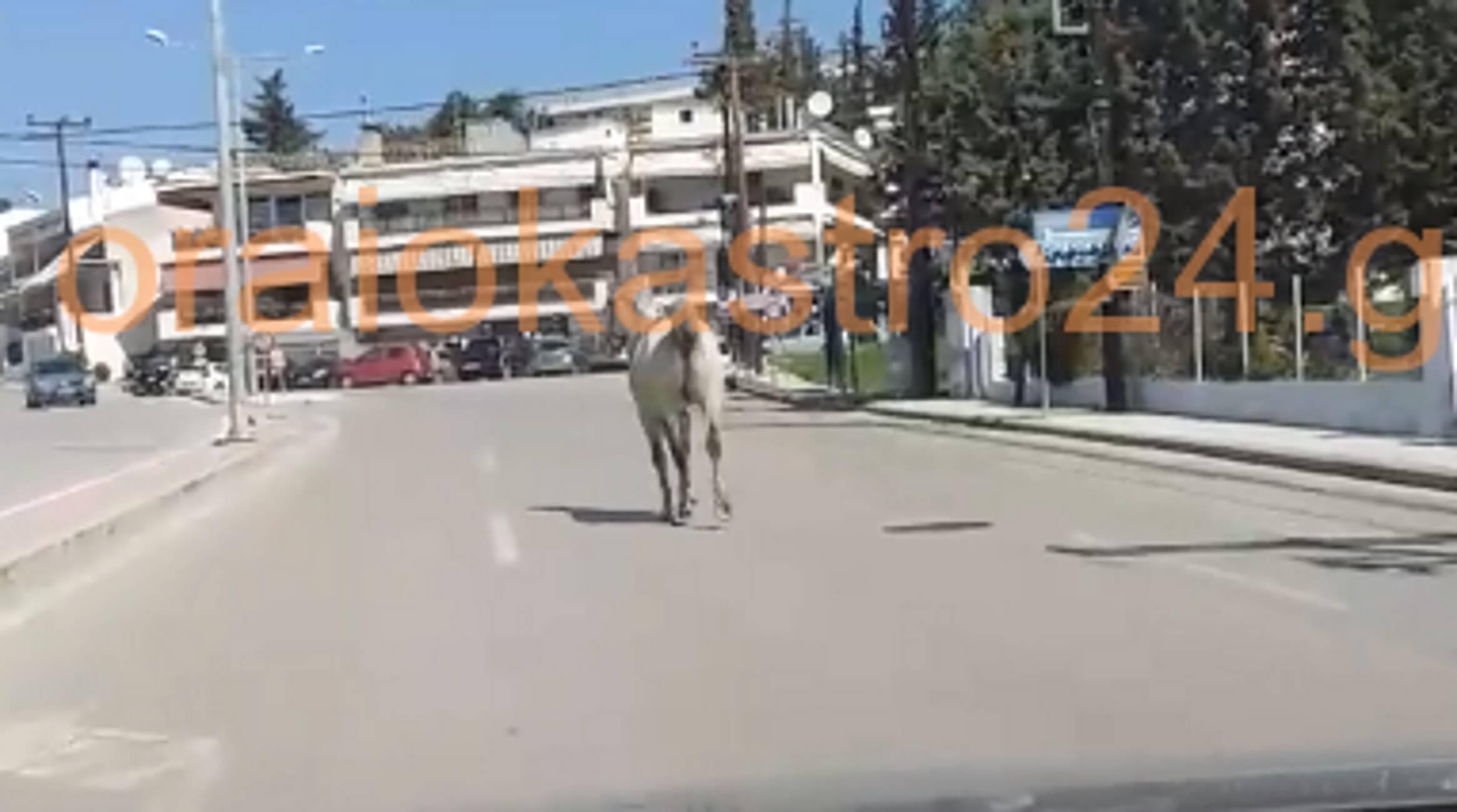 Θεσσαλονίκη: Μπροστά από τα αυτοκίνητα ένα άλογο χωρίς αναβάτη – Απίθανες σκηνές στο Ωραιόκαστρο – video