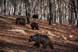 Ξύπνησαν οι αρκούδες στη Φλώρινα!